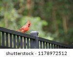 red male northern cardinal bird ... | Shutterstock . vector #1178972512