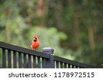 red male northern cardinal bird ... | Shutterstock . vector #1178972515