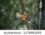 cute  tiny female cardinal bird ... | Shutterstock . vector #1178981095