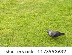 rook with gray black plumage... | Shutterstock . vector #1178993632