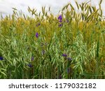 vast wheat and oats plantation... | Shutterstock . vector #1179032182