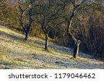 naked apple trees in orchard at ...   Shutterstock . vector #1179046462