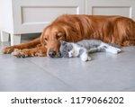 Stock photo golden retriever and kitten 1179066202