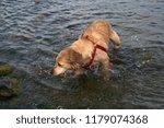 dog in water | Shutterstock . vector #1179074368