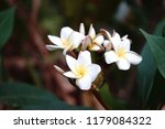 frangipani flowers bloom in the ... | Shutterstock . vector #1179084322