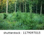 forest plantation with european ... | Shutterstock . vector #1179097015