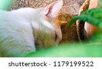 orange cat on daytime sleepiness | Shutterstock . vector #1179199522