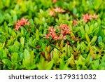 beautiful spike flower blooming ... | Shutterstock . vector #1179311032