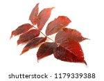 autumn aralia leaf | Shutterstock . vector #1179339388