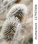 Withered Common Teasels In...