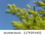 lively green pine branches with ...   Shutterstock . vector #1179391402
