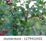 forest bush with red berries | Shutterstock . vector #1179412432