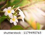 plumeria on tree in garden with ... | Shutterstock . vector #1179490765