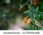 Ripe Almonds Ready For Harvest  ...