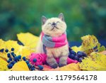 Stock photo autumn portrait of little kitten wearing pink gray knitting scarf cat sitting outdoors on fallen 1179564178