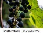 macro of wild grapes growing on ...   Shutterstock . vector #1179687292