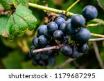macro of wild grapes growing on ...   Shutterstock . vector #1179687295