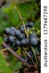 macro of wild grapes growing on ...   Shutterstock . vector #1179687298