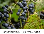 macro of wild grapes growing on ...   Shutterstock . vector #1179687355