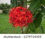 spike flowers or red flowers in ... | Shutterstock . vector #1179714355
