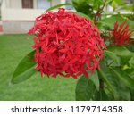spike flowers or red flowers in ... | Shutterstock . vector #1179714358