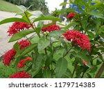 spike flowers or red flowers in ... | Shutterstock . vector #1179714385