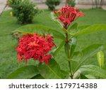 spike flowers or red flowers in ... | Shutterstock . vector #1179714388