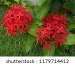 spike flowers or red flowers in ... | Shutterstock . vector #1179714412