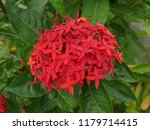 spike flowers or red flowers in ... | Shutterstock . vector #1179714415
