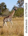 a giraffe  giraffa... | Shutterstock . vector #1179756328
