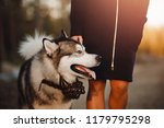Stock photo walking with husky dog happy muzzle in park 1179795298