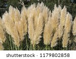 pampus grass with a sheen from...   Shutterstock . vector #1179802858
