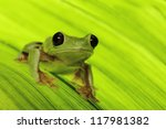 Small photo of frog of tropical Amazon rain forest treefrog Agalychnis spurrelli is the flying or gliding rainforest tree frog
