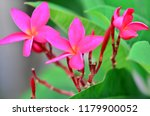 frangipani flowers it has its... | Shutterstock . vector #1179900052