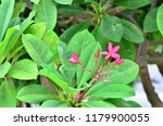 frangipani flowers it has its... | Shutterstock . vector #1179900055