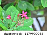 frangipani flowers it has its... | Shutterstock . vector #1179900058