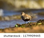 dunlin  calidris alpina  in... | Shutterstock . vector #1179909445