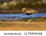 dunlin  calidris alpina  in... | Shutterstock . vector #1179909448
