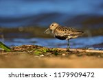 dunlin  calidris alpina  in... | Shutterstock . vector #1179909472