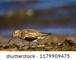 dunlin  calidris alpina  in... | Shutterstock . vector #1179909475