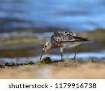 the red knot  calidris canutus  ... | Shutterstock . vector #1179916738