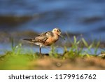 the red knot  calidris canutus  ... | Shutterstock . vector #1179916762