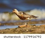 the red knot  calidris canutus  ... | Shutterstock . vector #1179916792