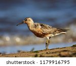 the red knot  calidris canutus  ... | Shutterstock . vector #1179916795