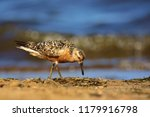 the red knot  calidris canutus  ... | Shutterstock . vector #1179916798