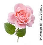 Stock photo pink rose closeup isolated on white background 117992572