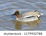 portrait of a common teal  anas ... | Shutterstock . vector #1179932788