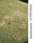 field of sheep | Shutterstock . vector #1179972925