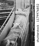 A Sheep Farmer Shears One Of...
