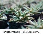 green cactus plants in pots ... | Shutterstock . vector #1180011892